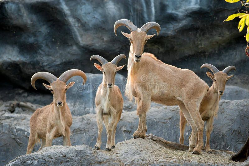 Barbary sheep. Group of barbary sheep or aoudad ( ammotragus lervia stock image