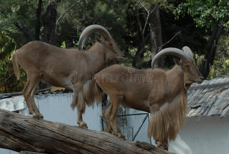 Barbary Sheep, Horn, Fauna, Wildlife stock photo