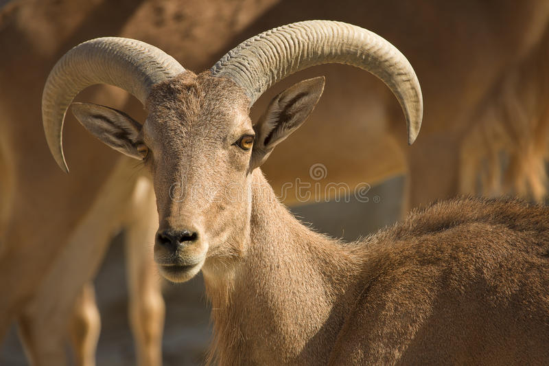 Barbary Sheep male. Ammotragus lervia royalty free stock image