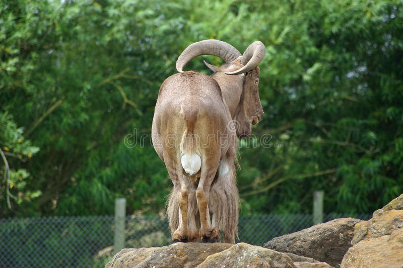 Barbary sheep. A male barbary sheep (Ammotragus lervia) on a rock, viewed from the rear, with trees in the background stock photos