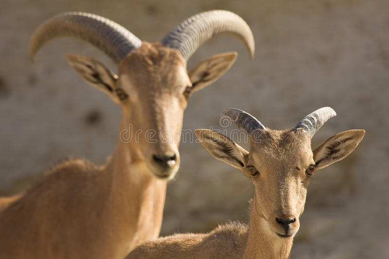 Barbary Sheep mother and baby. Ammotragus lervia stock images