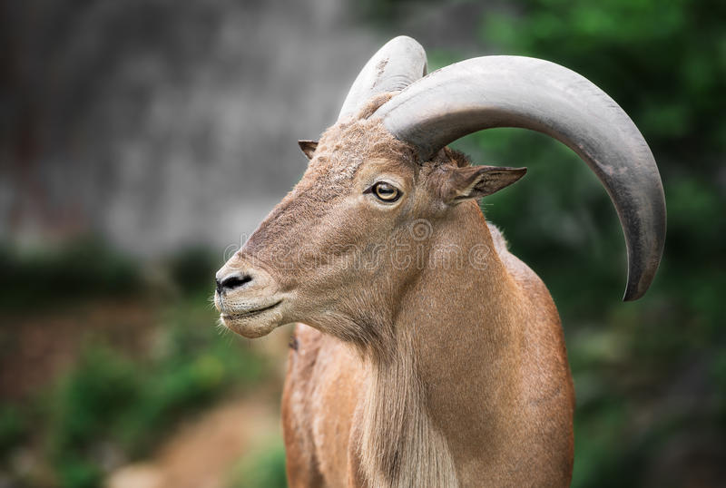 Barbary sheep. Single brown barbary sheep in the forest stock photo