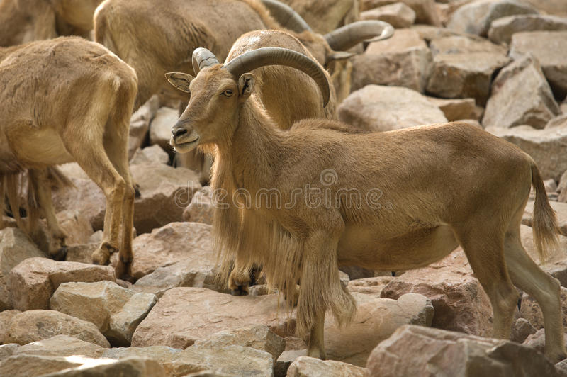 Download Barbary Sheep stock image. Image of nature, horn, brown - 33802495