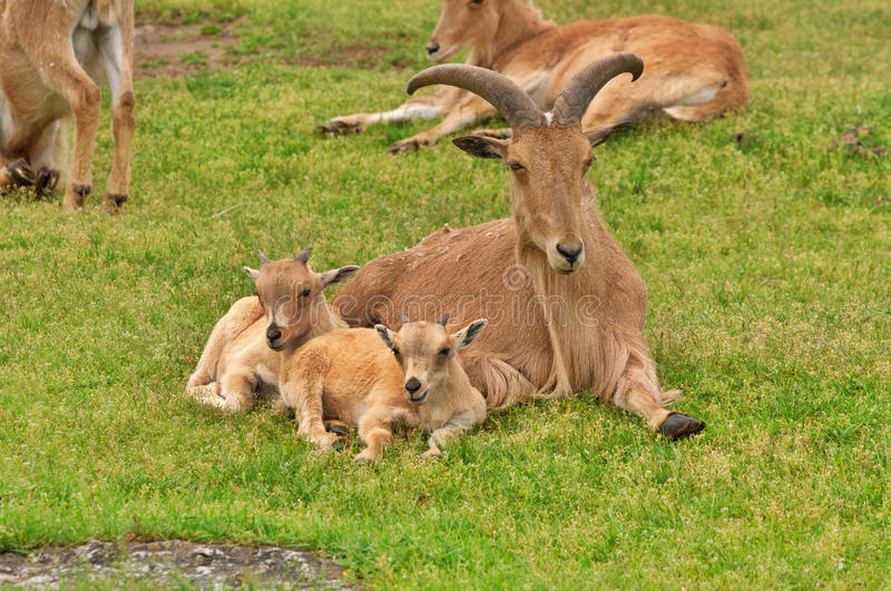 Barbary sheep. Two baby barbary sheep lambs with their mother resting on green grass stock images