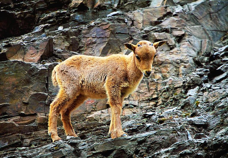 Barbary sheep. Young buck on a rock terrace royalty free stock images