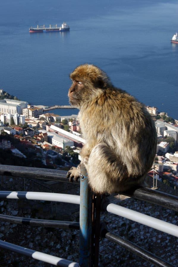BarbaryMacaque in Gibraltar lizenzfreie stockfotos