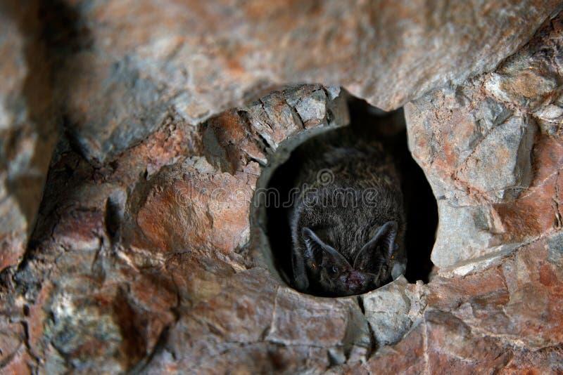 Barbastelle occidental, barbastellus de Barbastella, dans l'habitat de caverne de nature, kras de Cesky, tchèques Séance animale  photographie stock