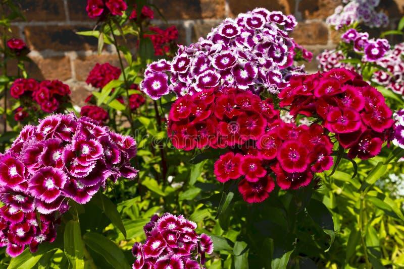Barbatus гвоздики (сладостный Вильгельм) цветет в саде. стоковая фотография