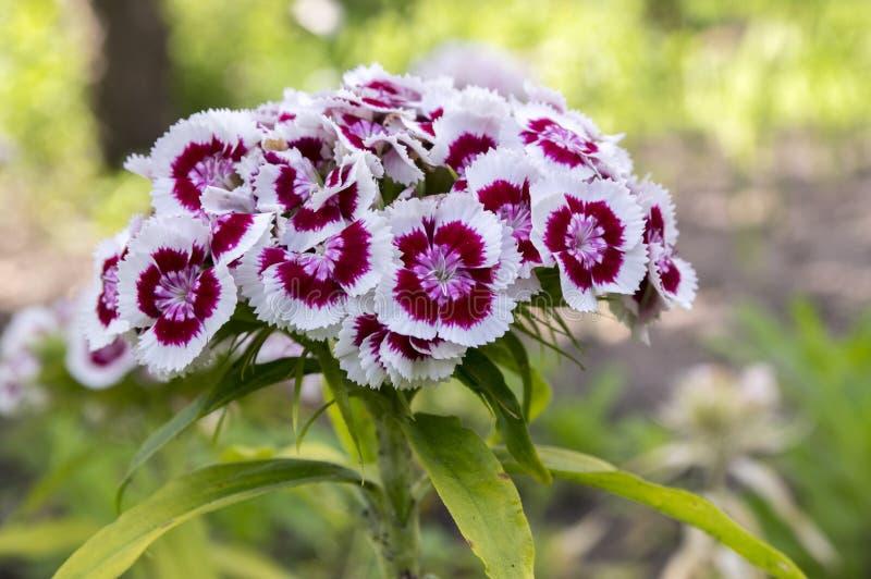 Barbatus del clavel en la floración, flores púrpuras oscuras con el borde blanco fotos de archivo libres de regalías