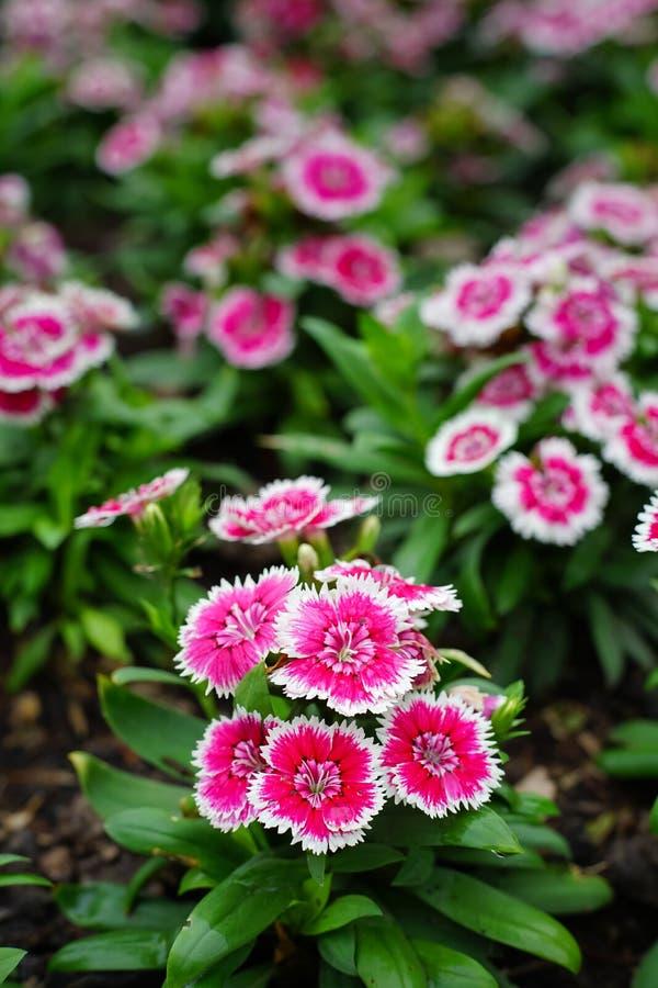 Barbatus del clavel o William Flower dulce en el jardín foto de archivo libre de regalías
