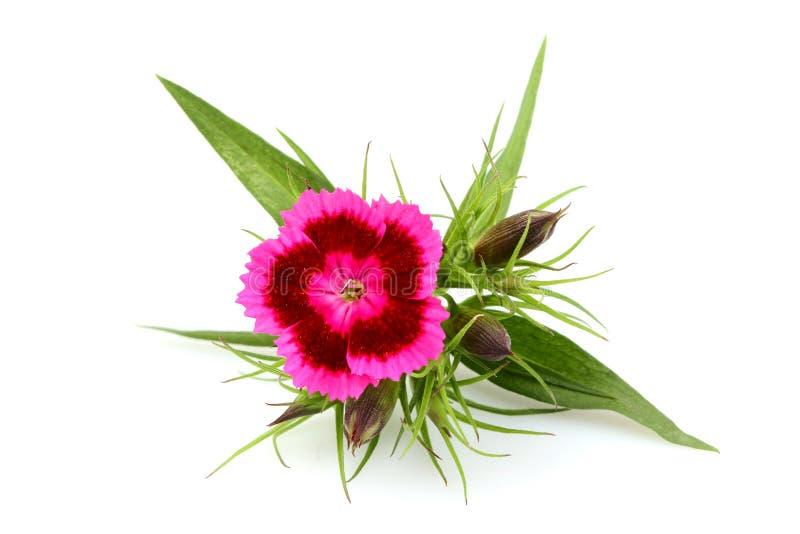 Barbatus Dianthus Ρόδινο γλυκό λουλούδι του William που απομονώνεται στοκ εικόνα