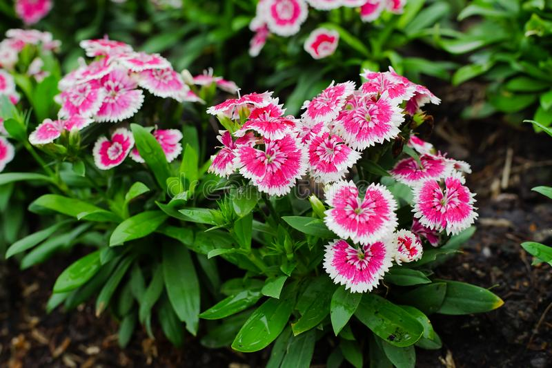 Barbatus do cravo-da-índia ou William Flower doce no jardim imagem de stock