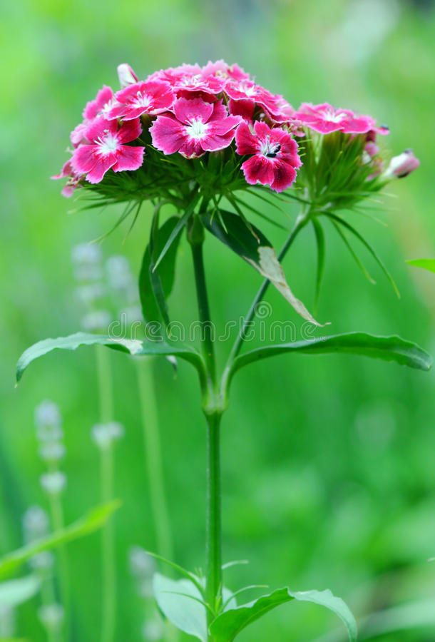 Barbatus doux d'oeillet de fleur de fleur de William photo libre de droits