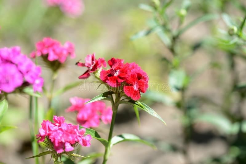 Barbatus dulce del clavel de las flores de Guillermo en el jardín del verano foto de archivo
