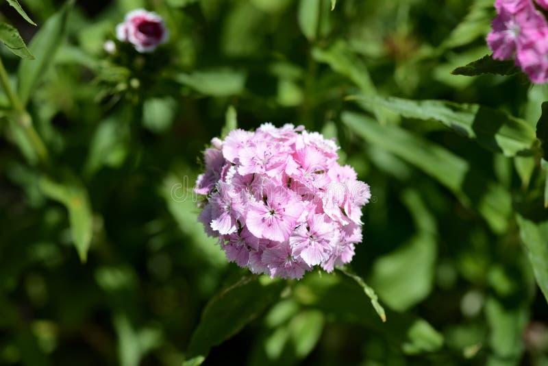 Barbatus dulce del clavel de las flores de Guillermo en el jardín del verano imagen de archivo