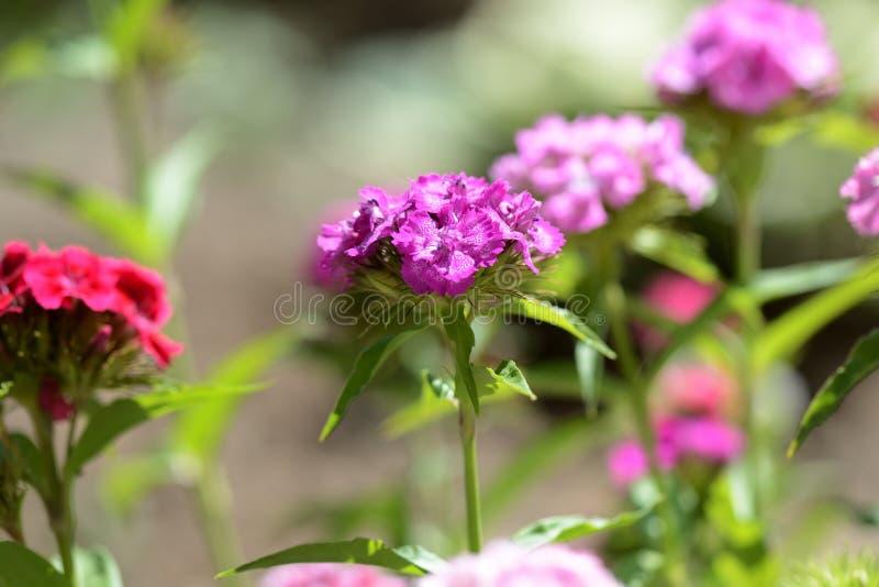 Barbatus dulce del clavel de las flores de Guillermo en el jardín del verano imagenes de archivo