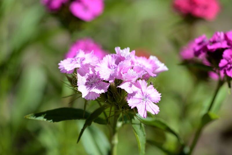 Barbatus dulce del clavel de las flores de Guillermo en el jardín del verano fotografía de archivo libre de regalías