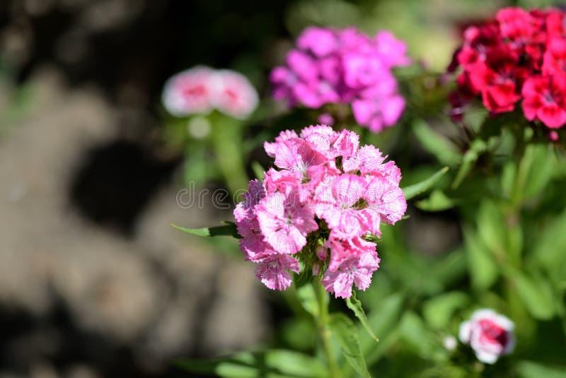 Barbatus dulce del clavel de las flores de Guillermo en el jardín del verano fotos de archivo