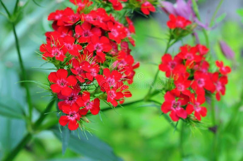 Barbatus dulce del clavel del flor de la flor de Guillermo fotografía de archivo libre de regalías