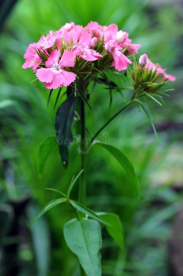 Barbatus dulce del clavel del flor de la flor de Guillermo imagenes de archivo
