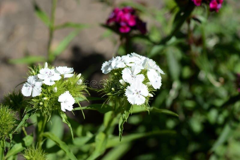 Barbatus dulce hermoso del clavel de las flores de Guillermo en el jardín imagenes de archivo