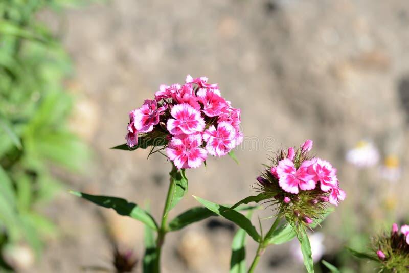 Barbatus dulce hermoso del clavel de las flores de Guillermo en el jardín foto de archivo libre de regalías