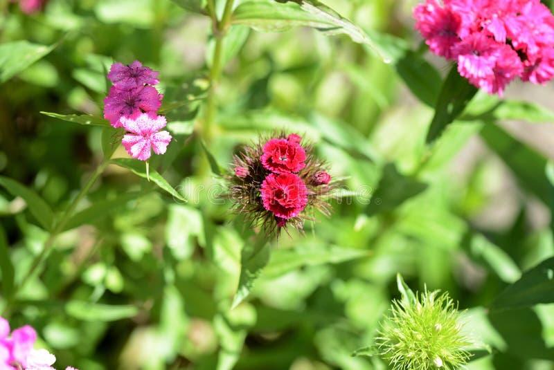Barbatus dulce hermoso del clavel de las flores de Guillermo en el jardín fotografía de archivo