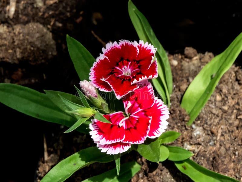 Barbatus dulce la Flor-India de William Dianthus fotografía de archivo