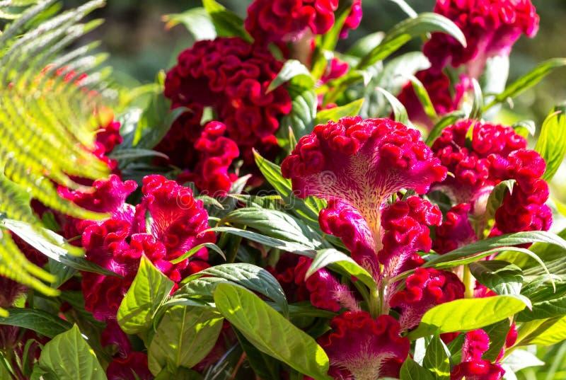Barbatus dulce rojo oscuro de William Dianthus fotos de archivo