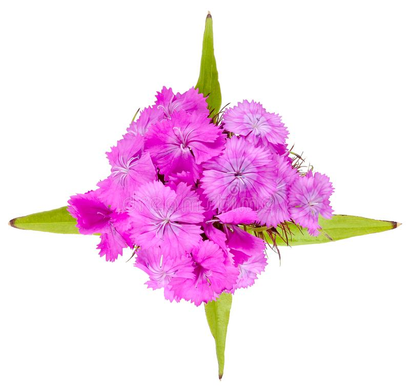 Barbatus isolated pink carnations royalty free stock photos