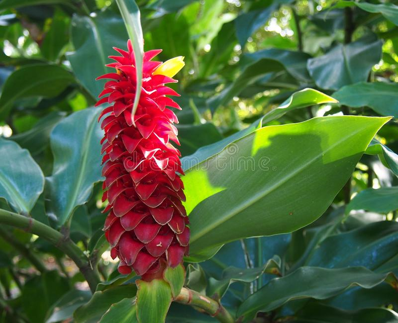 Barbatus a spirale Suess di Ginger Costus, preso a Sydney Royal Botanic Gardens fotografie stock libere da diritti