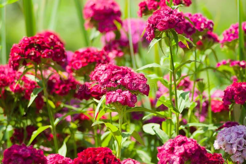 Barbatus turc rose lumineux d'oeillet d'oeillets image libre de droits