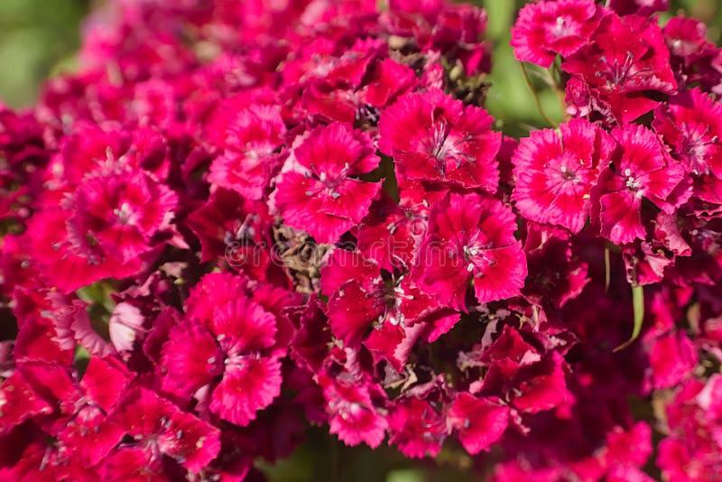 Barbatus turco rosa luminoso del Dianthus dei garofani fotografia stock