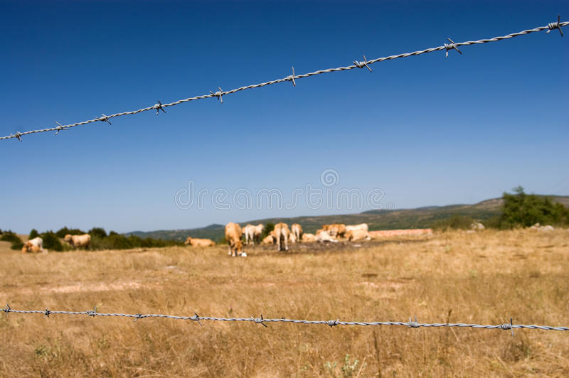 Download Barbed Wire Fence, Brown Cow Royalty Free Stock Image - Image: 15955356