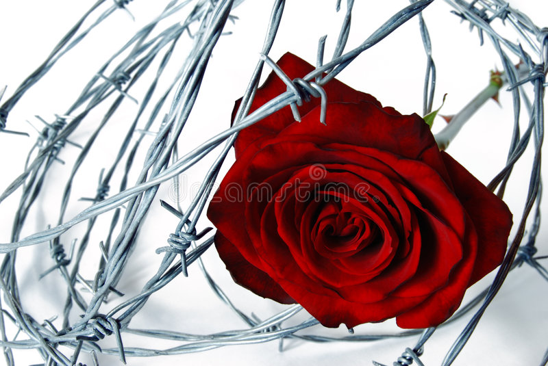 Barbed wired rose stock photography