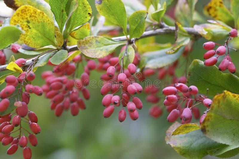 barberry arkivfoto