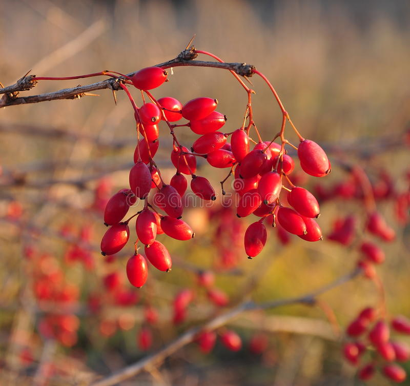 barberry arkivfoton