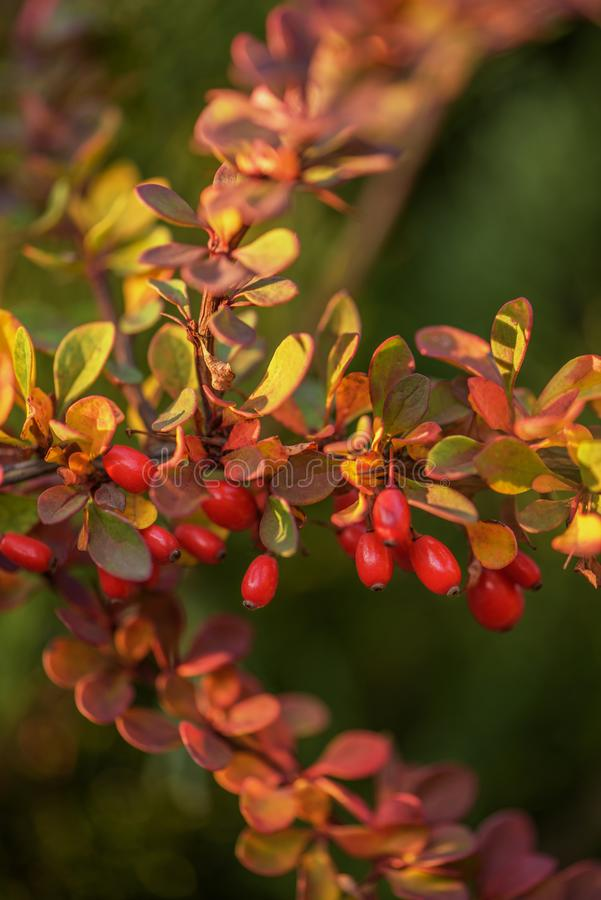 Barberry Berberis vulgaris branch fresh ripe berries natural green background Berberis thunbergii Barberry berries fruits bush col. Barberry Berberis vulgaris stock photos