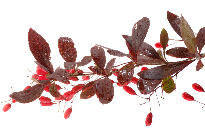 Barberry berries stock photo