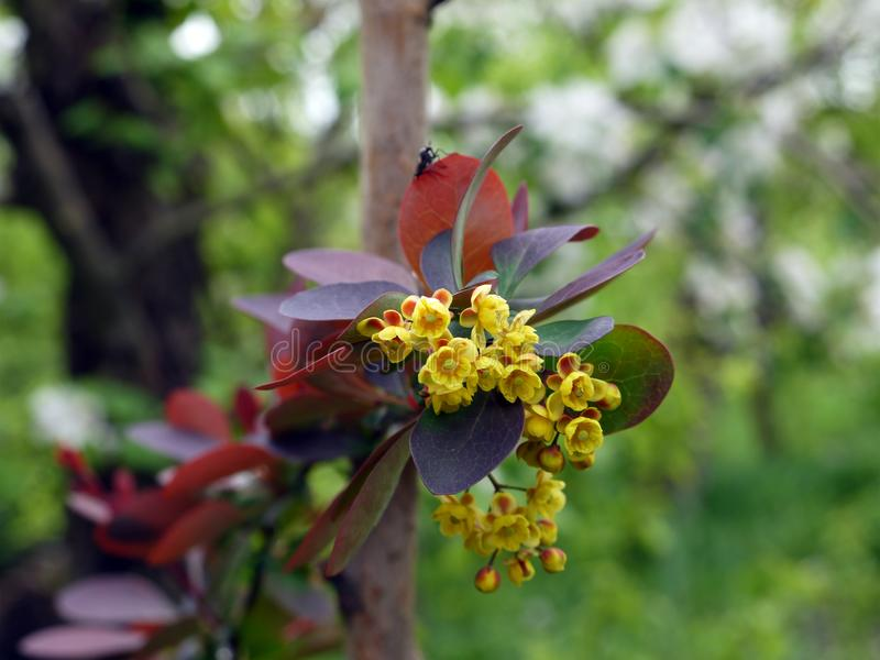Barberry in bloom royalty free stock images