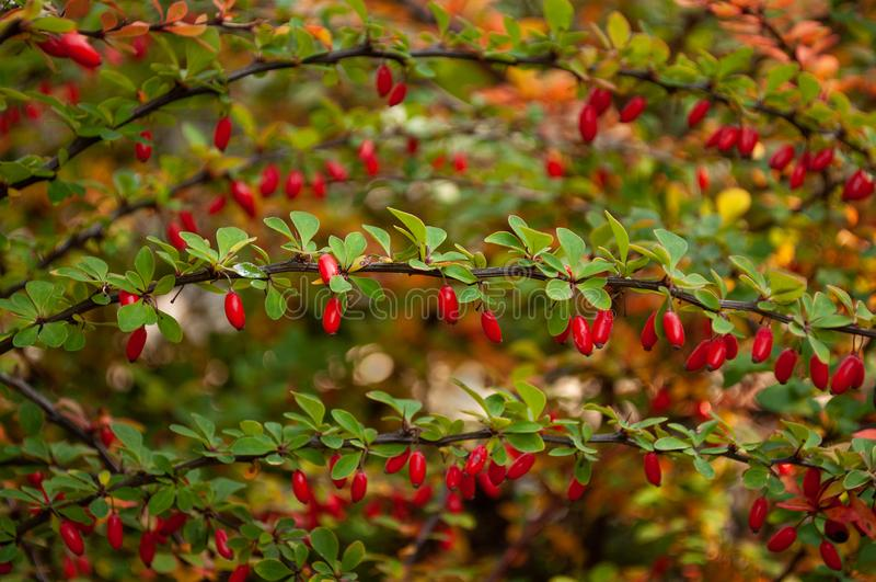 Barberry branch with green leaves stock photo