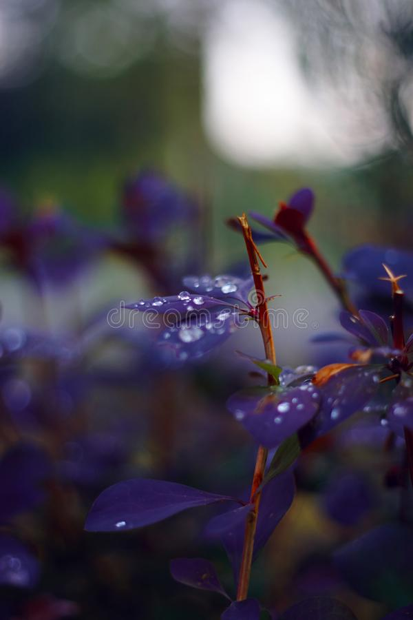 Barberry bushes with purple leaves and cut stems royalty free stock photo