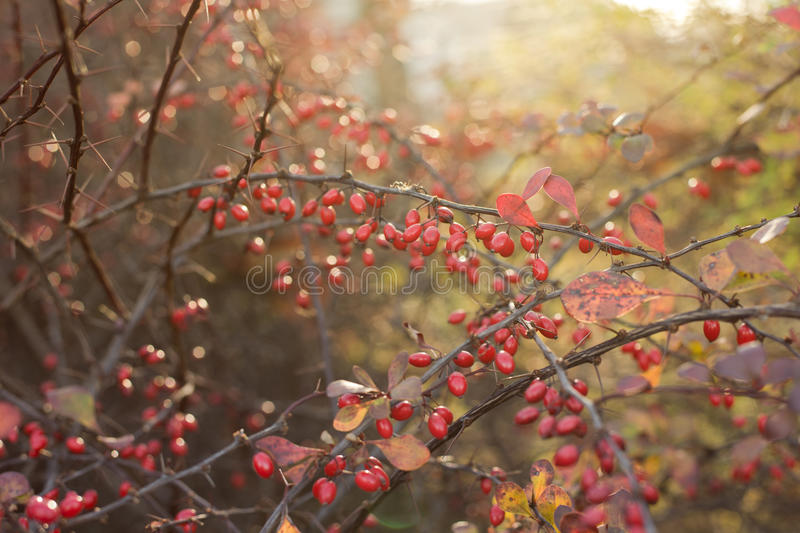 Barberry in morning sunlight. Barberry in autumn morning sunlight royalty free stock images