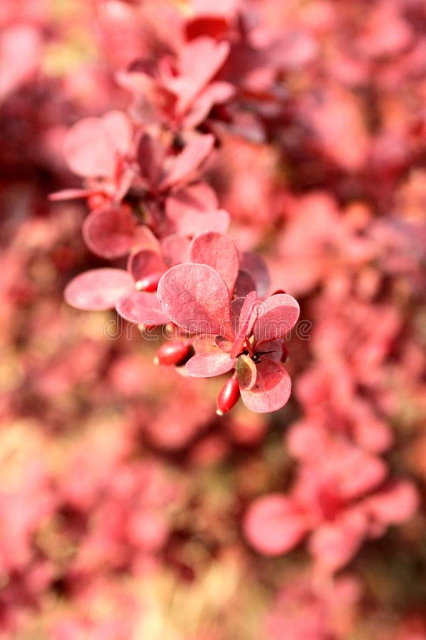 Barberry red bunch royalty free stock photo