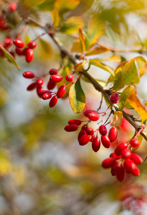Barberry royalty free stock images