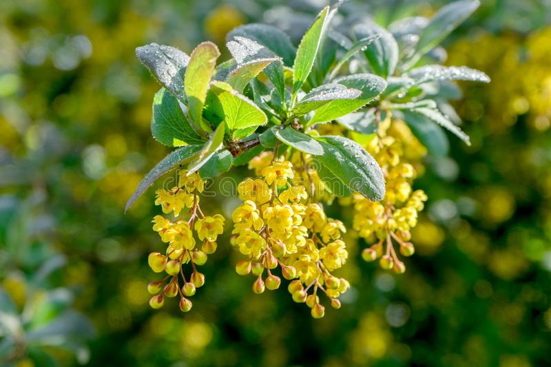 Barberry with yellow flowers in sunlight stock photo