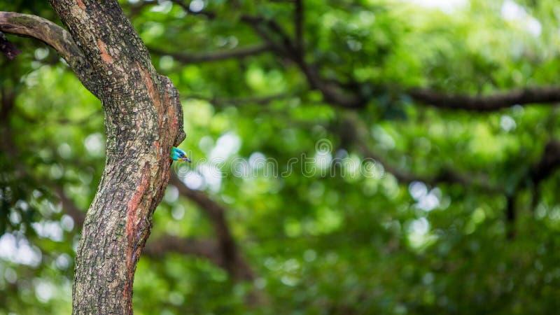 Barbet Тайваня птицы в гнезде отверстия на дереве на Тайване Daan Forest Park стоковые фото