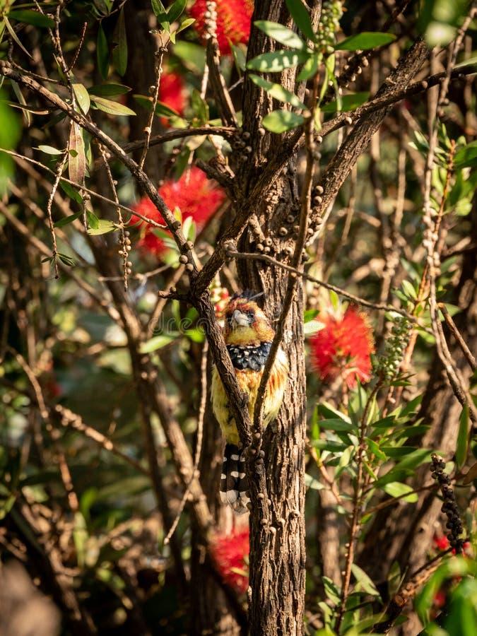 Barbet com crista ( Trachyphonus vaillantii) , África do Sul recolhida imagem de stock
