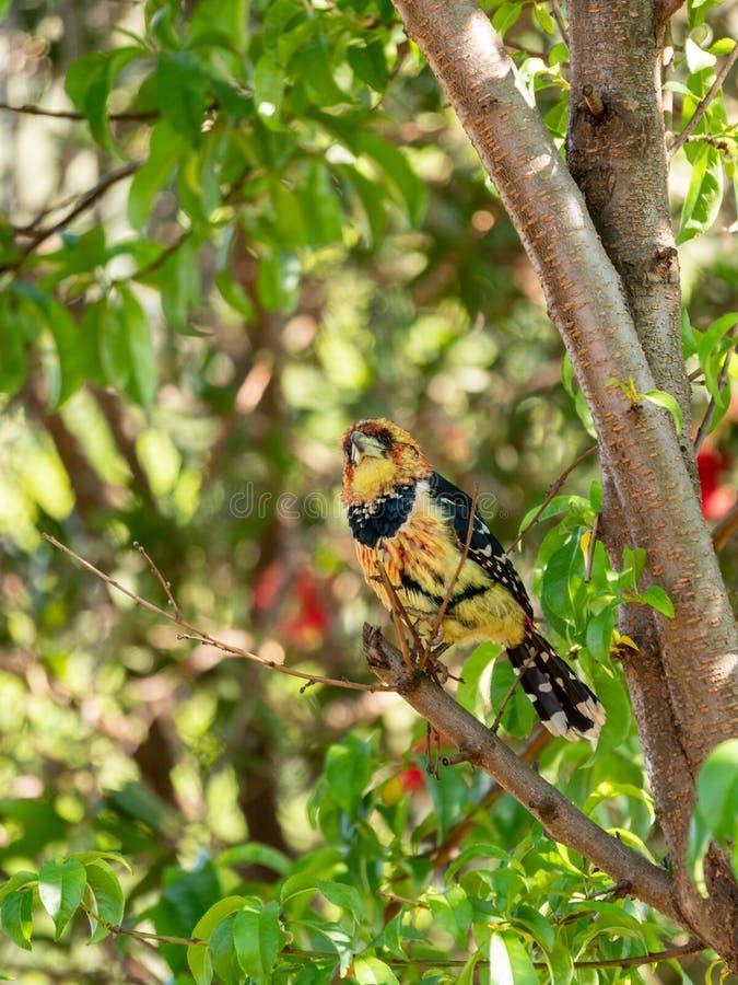 Barbet com crista ( Trachyphonus vaillantii) , África do Sul recolhida imagem de stock royalty free