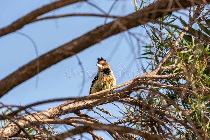 Barbet com crista ( Trachyphonus vaillantii) , África do Sul recolhida fotografia de stock royalty free
